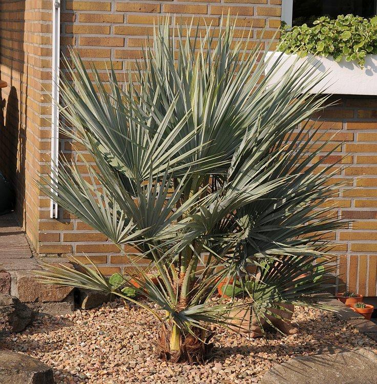 frostharte palmen freilandpalmen im westm nsterland. Black Bedroom Furniture Sets. Home Design Ideas